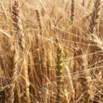 Британские фермеры терпят убытки из-за зерновых маневров России