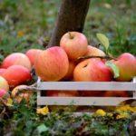 Поляки признали, что российский рынок не нуждается в их яблоках